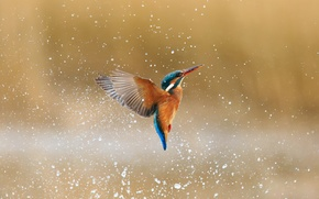 Picture water, drops, squirt, bird, kingfisher, alcedo atthis, common Kingfisher