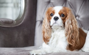 Picture dog, chic, the cavalier king Charles Spaniel