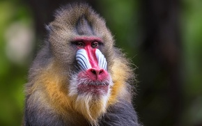 Picture background, monkey, mammal