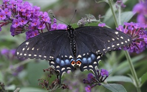 Picture macro, butterfly, Papilio Polyxenes