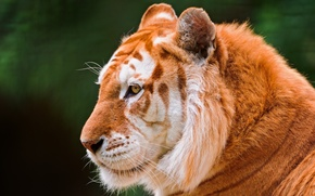 Picture cat, face, tiger, ©Tambako The Jaguar, Golden tiger