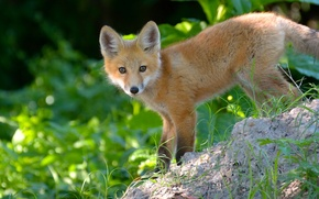 Picture look, red, Fox, Fox, cub