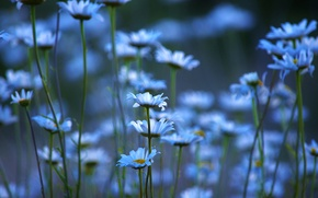 Picture field, nature, petals, Daisy, stem, meadow