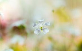 Picture white, flower, background, blur, flower