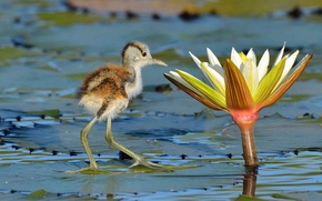 Picture flower, leaves, bird, Lotus, chick, pond, the African Jacana, lubopitstvo