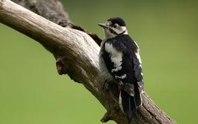 Picture bird, woodpecker, log