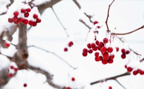 Picture winter, macro, snow, branches, red, berries, background, tree, Wallpaper, wallpaper, widescreen, winter, background, snow, macro, …