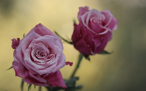 Wallpaper macro, flowers, photo, pink, rose, roses, blur