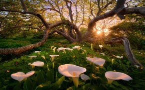 Picture Heaven on Earth, Calla lilies, heaven on earth