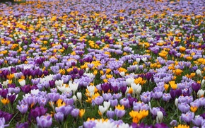 Picture field, flowers, spring, crocuses