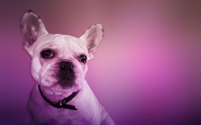 Picture pink, Dog, cool