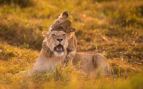 Picture the game, lioness, lion
