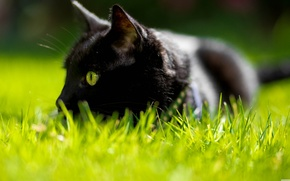 Picture cat, grass, green eyes