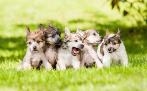 Picture dogs, grass, puppies, kids, lawn
