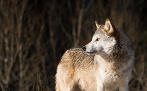 Picture look, wolf, predator, wolf