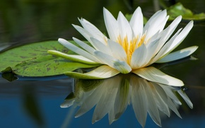Picture water, reflection, white, Nymphaeum, water Lily