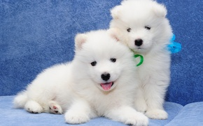 Picture Samoyed, a couple, dogs, puppies