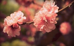 Picture color, flowers, branch, spring, petals, Sakura, pink, flowering