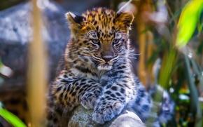 Picture leopard, animal, bokeh