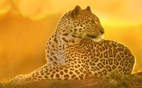 Picture cat, predator, leopard