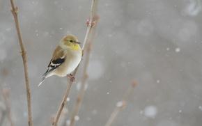Wallpaper bird, winter, snowing