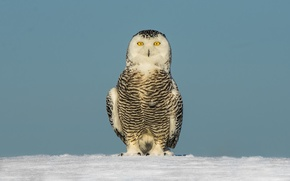 Picture eyes, winter, snow, snowy owl