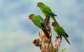 Picture birds, parrots, trio, Red-tailed parakeet El Oro