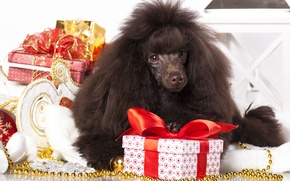 Picture dog, gifts, poodle