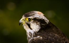 Picture look, eyes, bird, head, Falcon