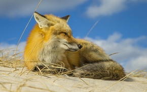 Picture the sky, nature, Fox