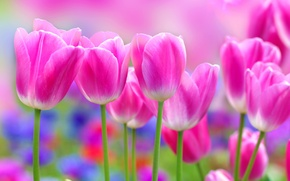 Picture flowers, Tulip, pink tulips
