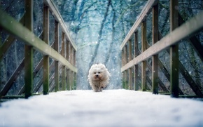 Picture winter, snow, bridge, dog, The Havanese