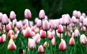 Wallpaper flowers, pink, tulips