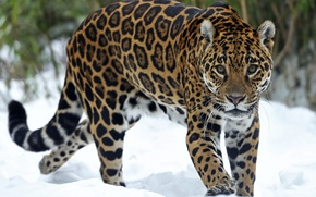 Picture look, snow, predator, Jaguar