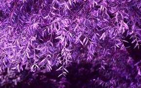 Picture purple, foliage, Tree