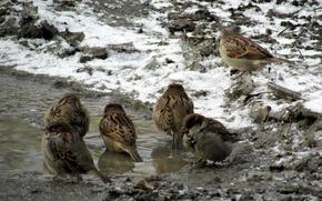 Picture autumn, puddle, sparrows, shower.