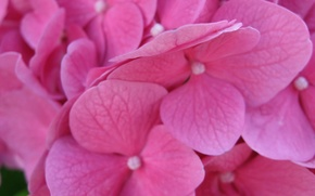 Wallpaper macro, flowers, wallpapers, hydrangea, 1920*1200