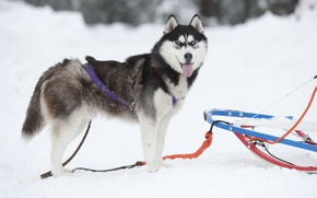 Picture sleigh, husky, Sled dog