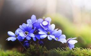 Picture macro, blue, petals, anemone, pechenocna