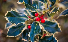 Picture leaves, berries, plant, red, Holly, Holly