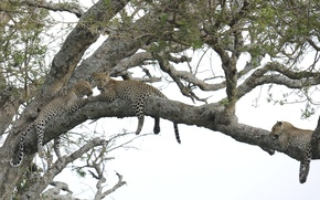 Picture tree, stay, leopard, big cat