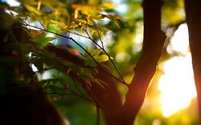 Wallpaper focus, leaves, widescreen Wallpaper, widescreen Wallpaper, leaf, leaves, leaves, tree, greens, trunk, mood, the sun, ...
