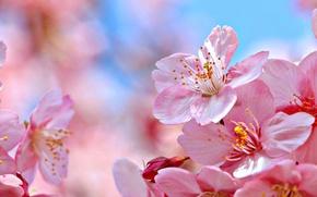 Picture macro, nature, cherry, Sakura, flowering, flowers