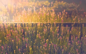 Picture fence, lavender, sunlight, stalks