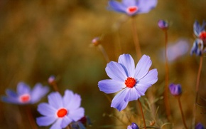 Picture macro, petals, stem, kosmeya