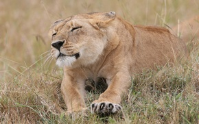 Picture cat, grass, claws, lioness