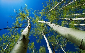 Picture the sky, leaves, rays, trees, trunk, aspen
