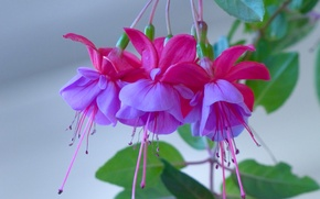 Wallpaper flowers, macro, fuchsia