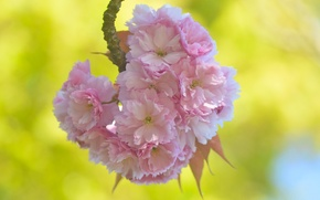 Picture flowers, macro, branch, Sakura, cherry, flowering, spring
