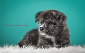 Picture grey, puppy, Japanese Akita